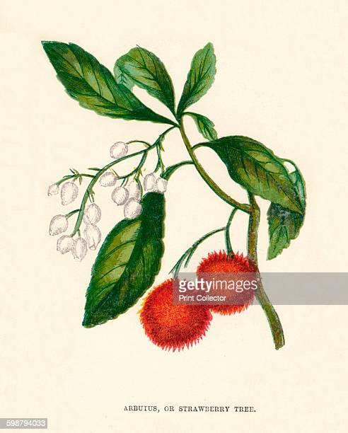 Arbutus or Strawberry Tree circa 1891 From Wild Flowers by Anne Pratt 1891 [Society for Promoting Christian Knowledge London 1891] Artist Anne Pratt