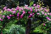 Jardin des Plantes in Paris - bush of pink roses arranged as an arch.