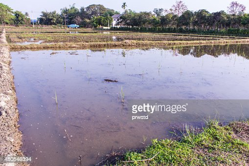 Architecture farming in Asia rice field : Stock Photo