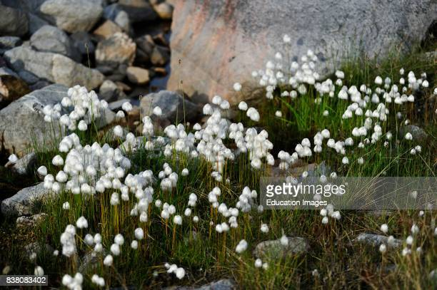 Arctic cotton or Arctic cotton grass is one of the most widespread flowing plants in the northern hemisphere and tundra regions Upon every stem grows...
