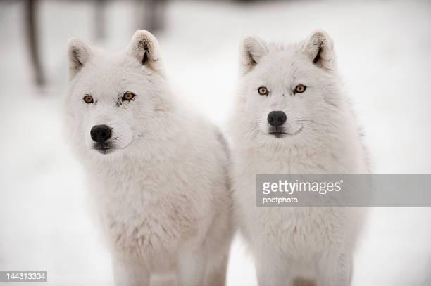 Arctic duet