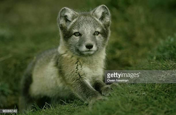 arctic fox: alopex lagopus  cubs at den  wrangel island, rus sia