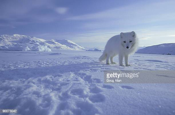 arctic fox, alopex lagopus  on the sea ice  svalbard