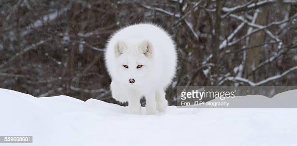 Arctic fox facing the camera
