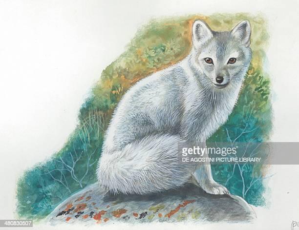 Arctic Fox illustration