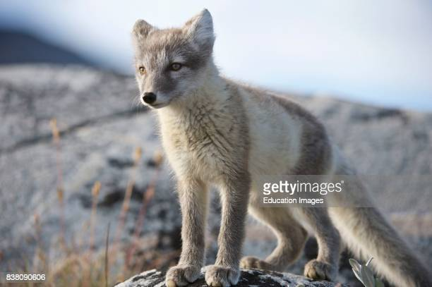Arctic fox in West Greenland The Arctic fox is a small fox native to the Arctic regions of the Northern Hemisphere and common throughout the Arctic...