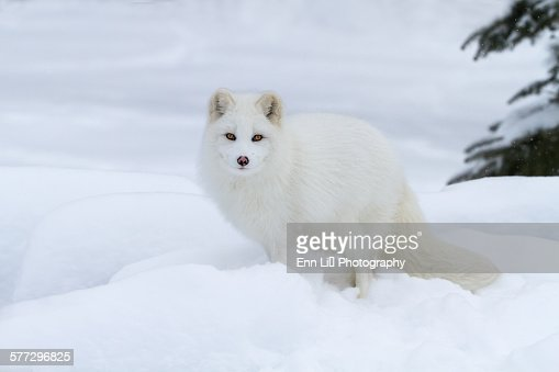 Arctic fox in winter coat