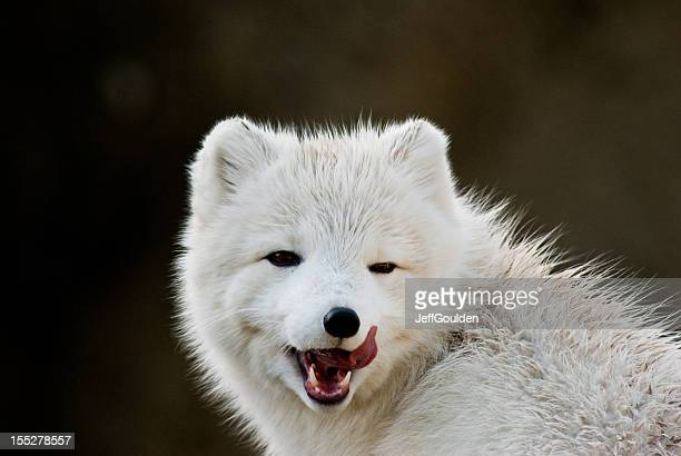 Arctic Fox Licking its Chops