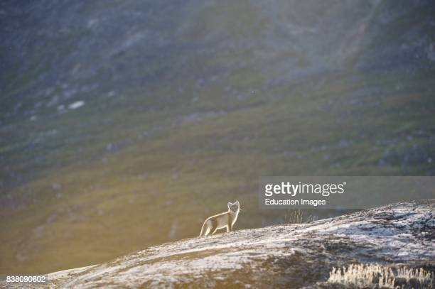 Arctic fox looking for food near the Eqi glacier north of Ilulissat in West Greenland The Arctic fox is a small fox native to the Arctic regions of...