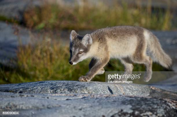 Arctic fox looking for food near the Eqi glacier north of Ilulissat in West Greenland This fox eats the remains from a kitchen that serves food for...