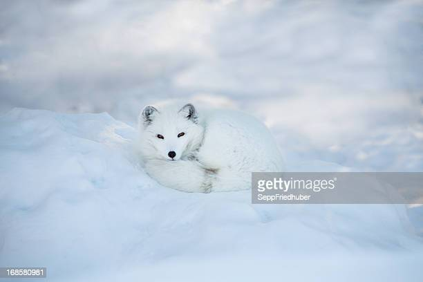 Arctic fox resting in the snow