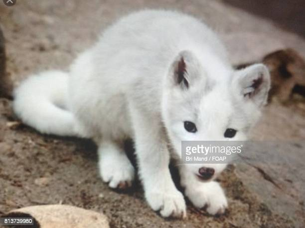 Arctic fox sitting on forest