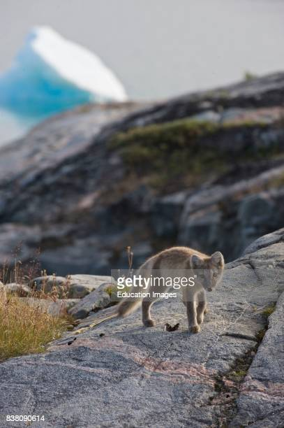 Arctic fox standing above an empty mussels near the Eqi glacier north of Ilulissat in West Greenland The Arctic fox is a small fox native to the...