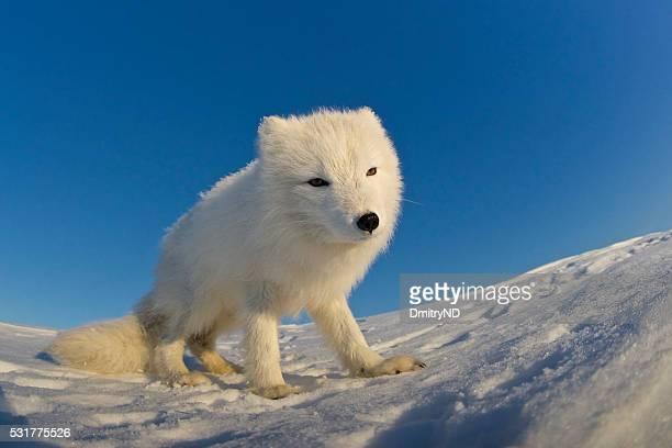 Arctic fox standing on a snowdrift.
