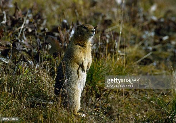 Arctic ground squirrel Sciuridae Yukon Canada
