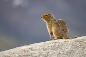Along the Tombstone Range in the Ogilvie Mountains, an arctic ground squirrel eats buds along the Dempster Highway in Tombstone Territorial Park, Yukon Territory.