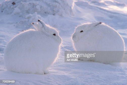 Arctic hare (Lepus arcticus), Ellesmere Island, Canada