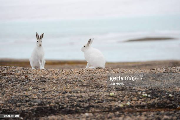 Arctic hare in Northern Greenland