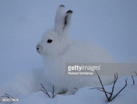 Arctic hare in snow