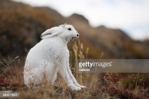 Arctic Hare yawn