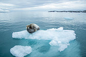 Seals in a ice.
