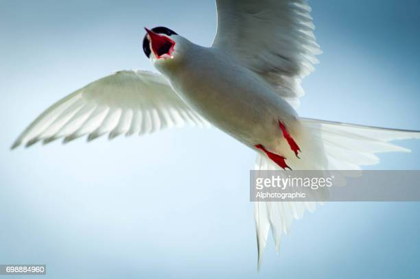 Arctic tern attacking the photographer