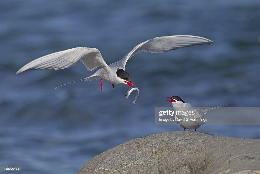 Arctic Tern bringing fish to mate : Stock Photo