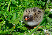 Arctic tern chick in Farne Islands Nature Reserve, England.