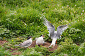 Arctic Terns migrate from Antarctica to the Farne Islands in Northumberland to breed. They feed their chicks with sand eels