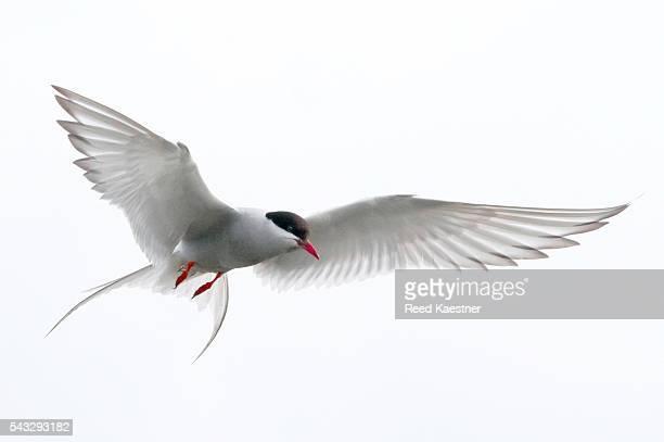 Arctic tern (Sterna paradisaea) in flight