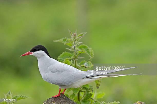 Arctic Tern Scotland UK