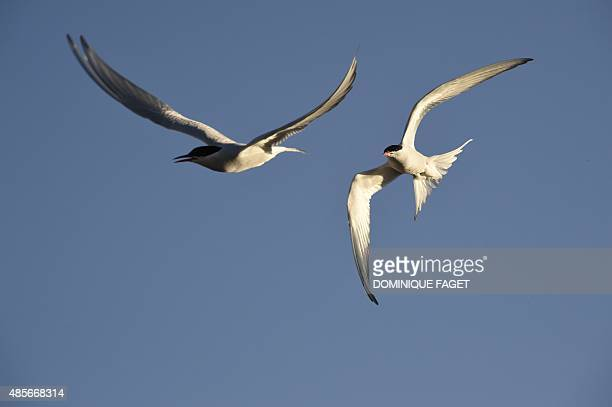 Arctic terns fly over the the scientific base of Ny Alesund in the Svalbard archipelago on July 21 2015 AFP PHOTO / DOMINIQUE FAGET