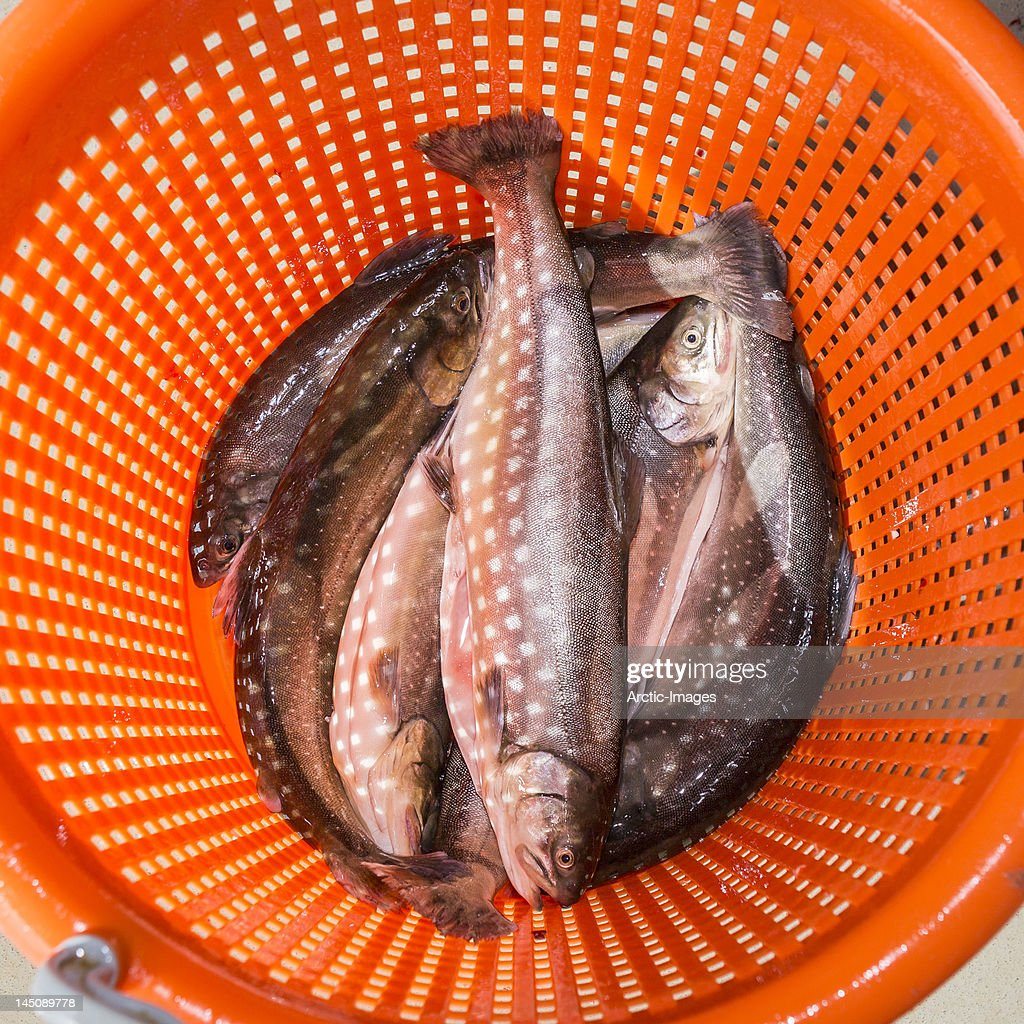Arctic Trout  (Salvelinus alpinus) : Stock Photo