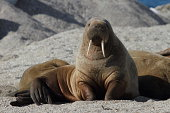 A walrus on a beach in Norway