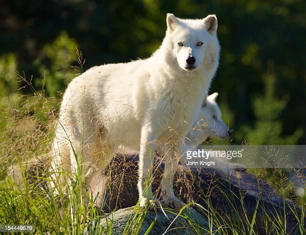 Arctic wolf enjoying the morning sun