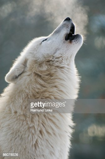 Arctic wolf howling