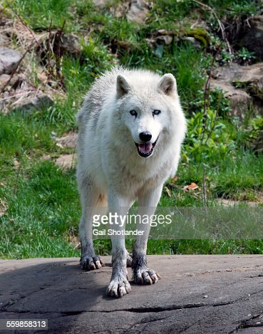 Arctic Wolf Looking at You