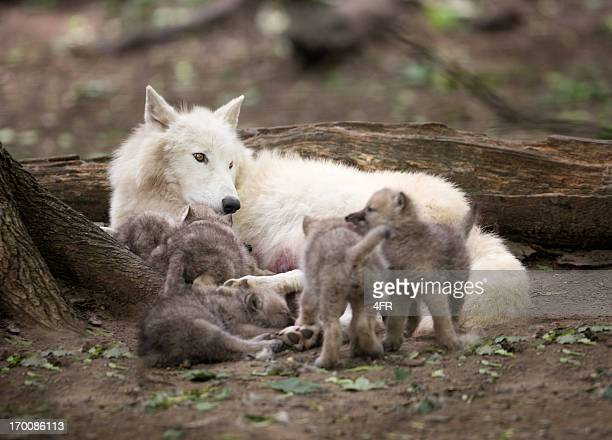 Arctic Wolf Mother watching over her five Newborn