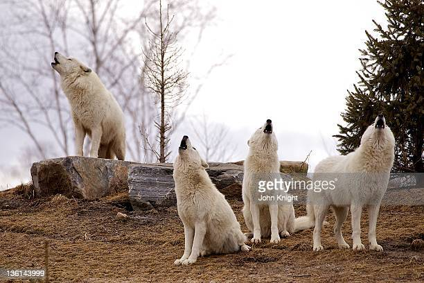 Arctic wolves howling