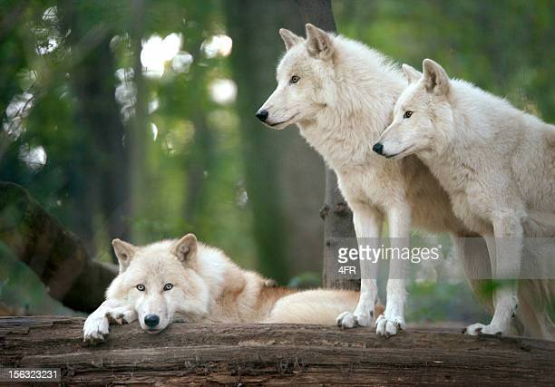 Wolves Pack de l'Arctique sauvage