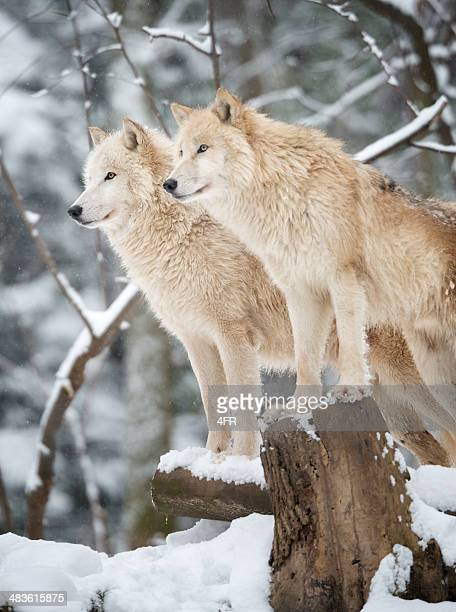 Artic Wolves embalagem em vida selvagem, Floresta de Inverno