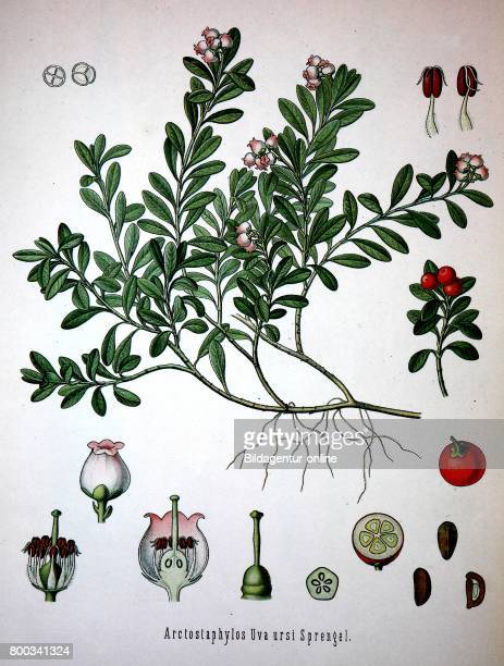 Arctostaphylos uvaursi is a plant species of the genus Arctostaphylo Its names include kinnikinnick and pinemat manzanita and it is one of several...