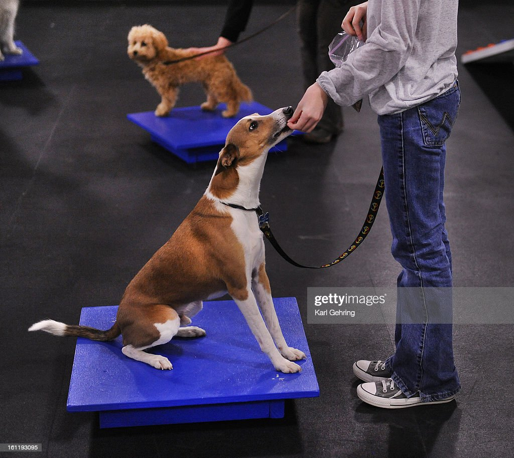 Arden Gehl reinforced good behavior from her Italian Greyhound Basenji mix named Rocket during an agility class for dogs Thursday night February 2...