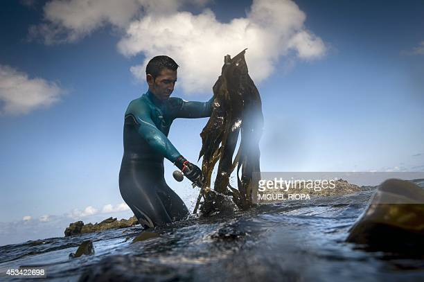 RUBIO Ardora Sea Preserves associate Sergio Baamonde collects seaweed off Picon beach in Ortigueira northern Spain on July 30 2014 Three young...