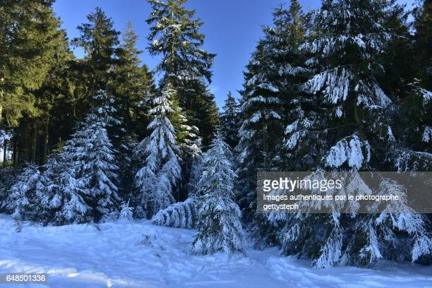Area in shadow still frozen coniferous trees