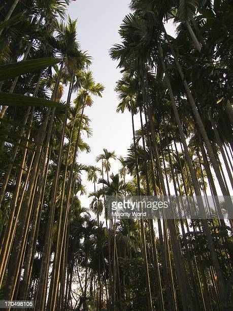 Areca catechu known commonly as Betel palm or Betel nut tree or Pinang is a species of palm which grows in much of the tropical Pacific Asia and...