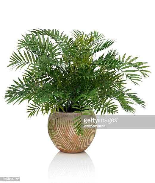 Areca Palm in a Clay Pot on a white background