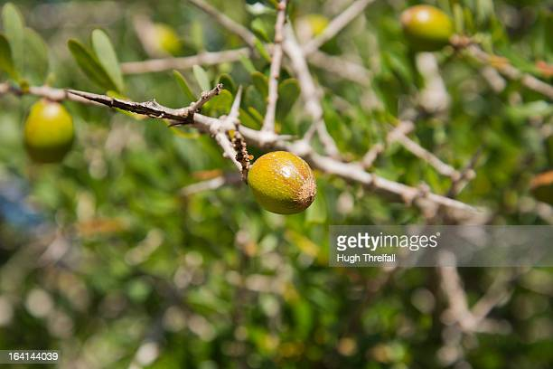 Argan fruit on Argan tree