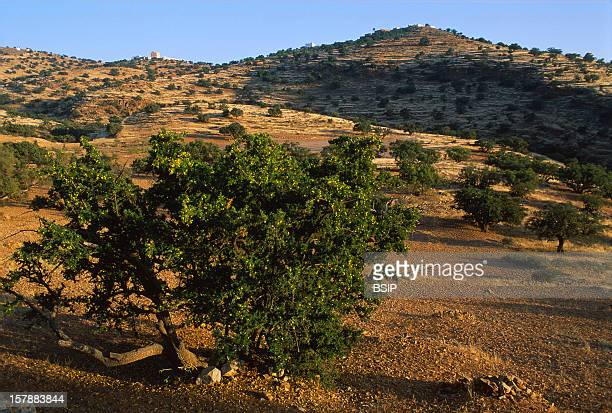 From The Cropping To The BottlingArganeraie Near Ait BahaOil Argan Is Used Both For Food And Cosmetics It Is An Oil Rich In Oleic Acid And In...