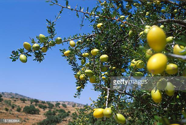 From The Cropping To The BottlingArgan Tree Bearing Fruits In The AntiAtlas In The SouthWest Of MoroccoOil Argan Is Used Both For Food And Cosmetics...